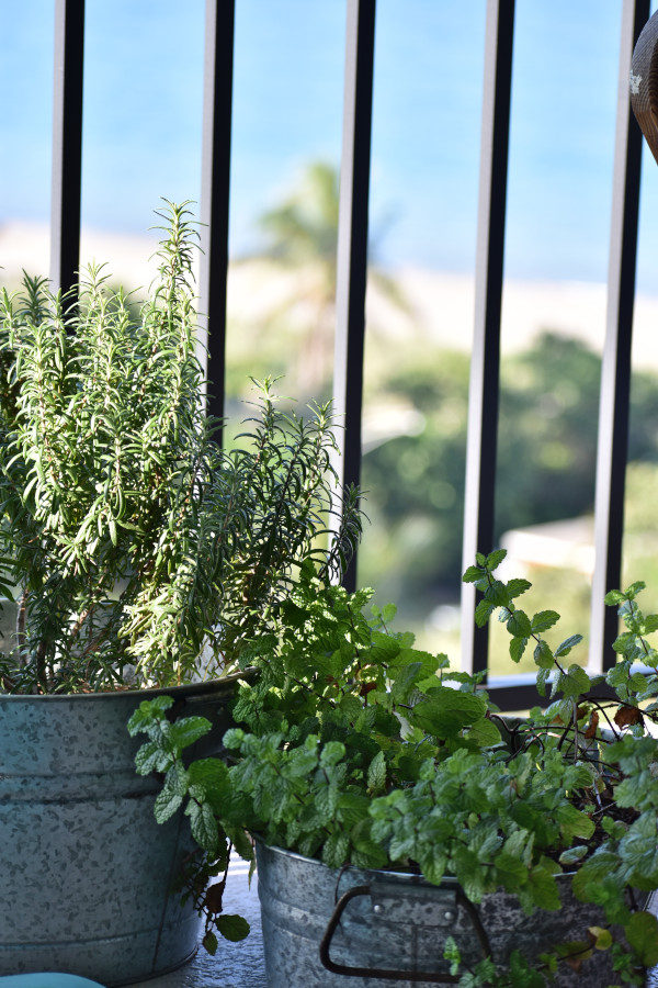 a rosemary plant and a mint plant next to each other on a balcony